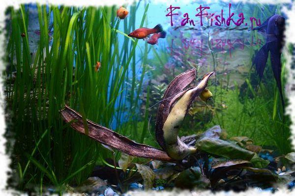 банана од полжави во аквариум