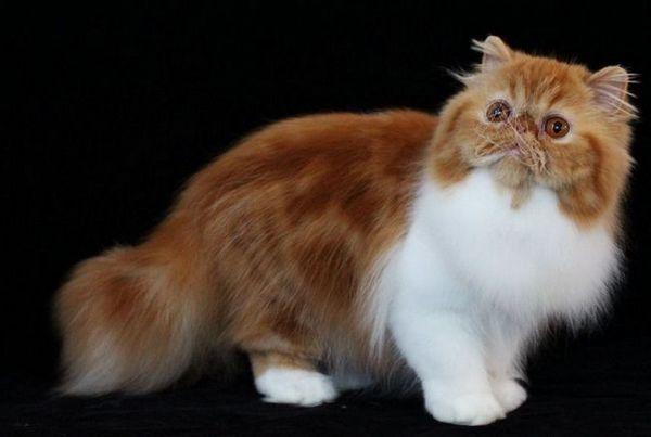 Класическа персийска котка