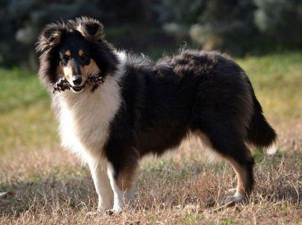 Коли или шотландски овчар