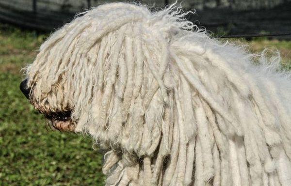 Komondor или унгарска овчарка