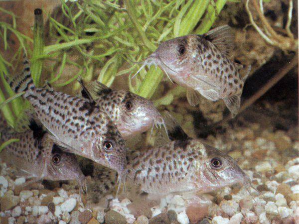 Коридорас агасіца в акваріумі 1.jpg