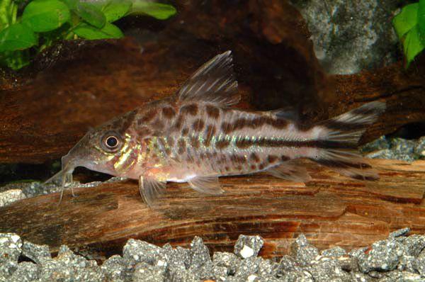 Коридорас флагохвостий в акваріумі 1.jpg