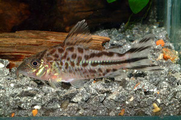 Коридорас флагохвостий в акваріумі 2.jpg
