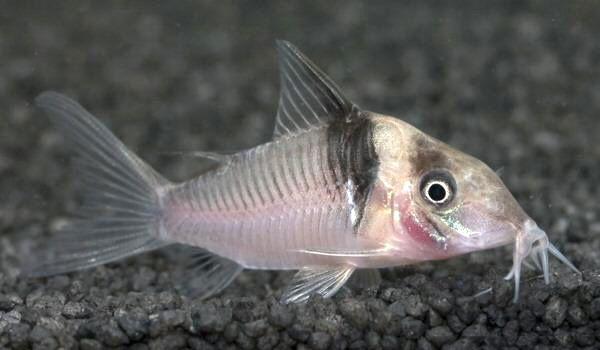 Коридорас Віргінія в акваріумі 3.jpg