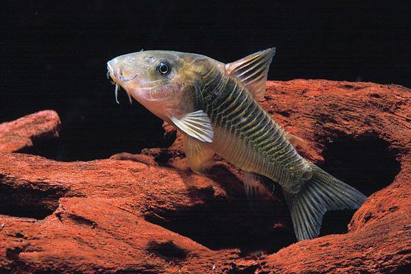 Коридорас желтоплавнічний в акваріумі 5.jpg