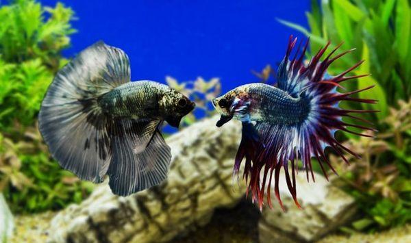 Rybí kohoutek bojový vzhled.