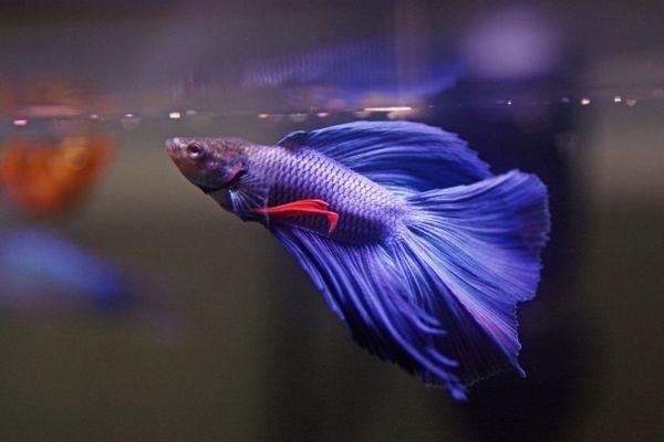 Modrý rybí kohoutek jí.