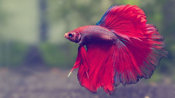 Červeno-modrý rybí kohoutek.