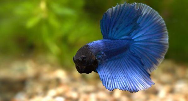 Kohoutek modrý siamský.