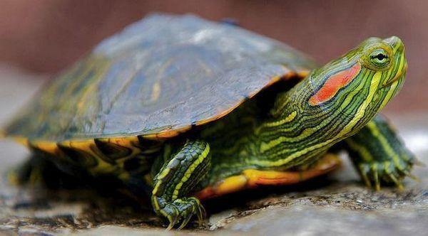 Рубеола костенурка у дома: съдържание от a до z