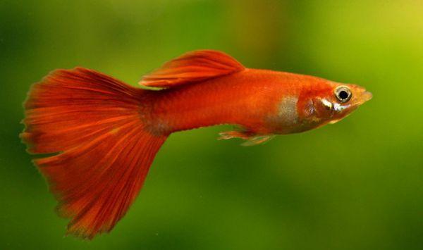 Црвена риба.