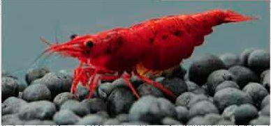 Jaskrawa ognista czerwona krewetka wiśniowa