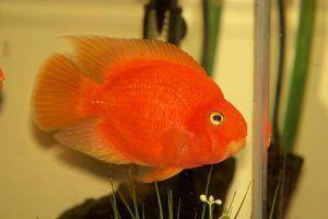 Акваријумске рибе црвеног папагаја