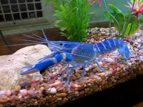 albastru-crayfish444