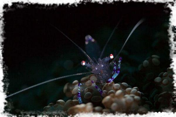 krewetki świecą w ciemności