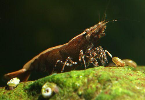 Babaulti hnedá - Caridina babaulti Brown