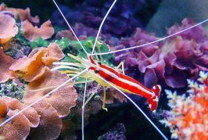 Krevety lekárske (Lysmata amboinensis)