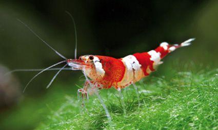 Krevety červený krištáľ.jpg