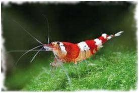 krevety červený kryštál