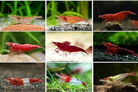 Shrimp Cherry (Red Cherry): klasyfikacja kolorów