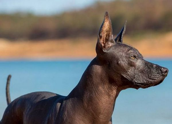 Xoloitzcuintle или мексиканско куче без коса