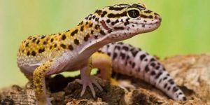 Леопард геко - екзотичен домашен любимец