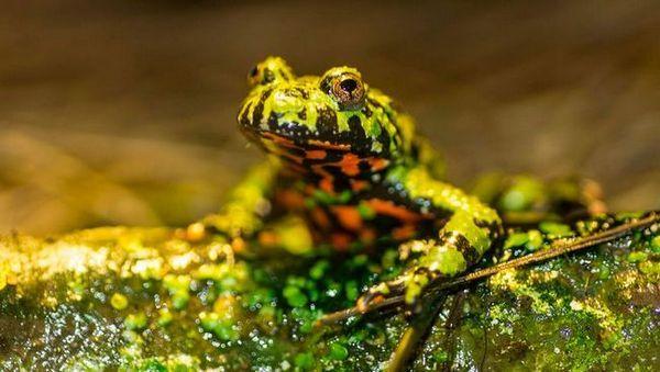 Ropucha żaba, opis i cechy zawartości ropuchy