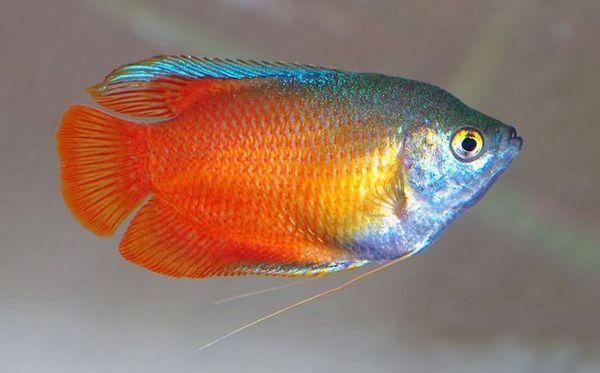 Lalius ce trebuie să știți despre îngrijirea și întreținerea peștilor din acvariu