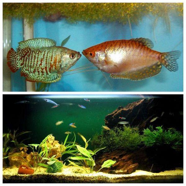 Lialius în acvariu
