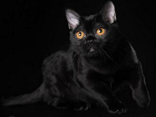 Малка черна пума - бомбейска котка