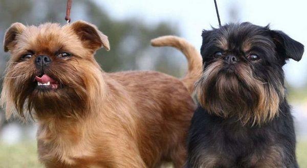 Малки белгийски кучета