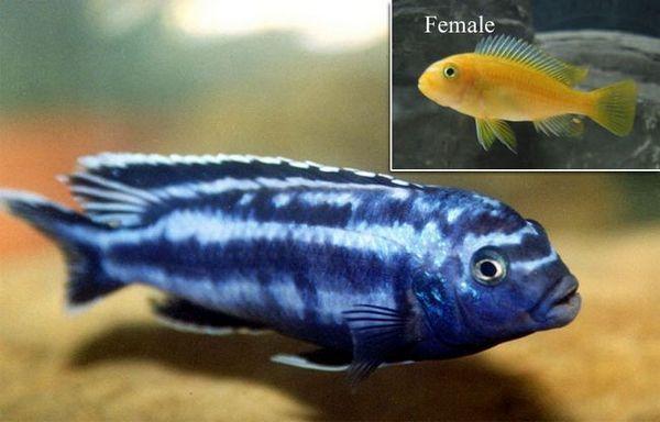 Мъжки и женски меланохроми йохани