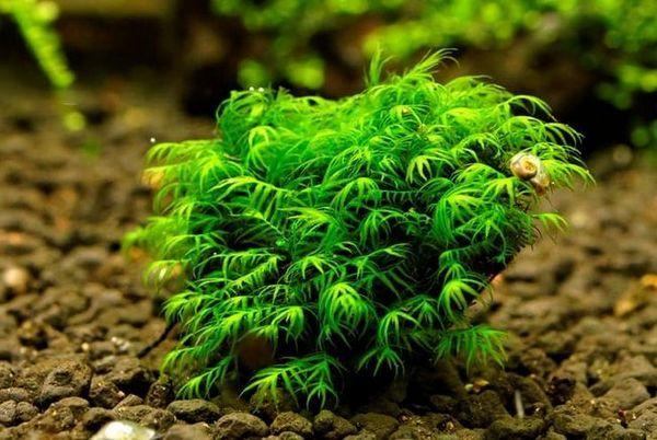 Mchy jako rośliny akwariowe: zawartość i dekoracja