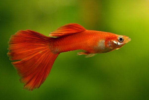 Безвредна риба.