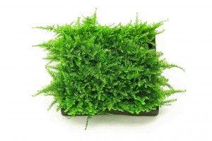 Christmas moss: trzymanie w akwarium