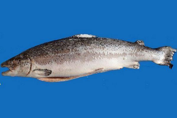 риба од лосос