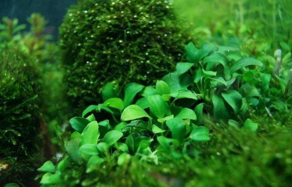Anubias nana z drugimi rastlinami.
