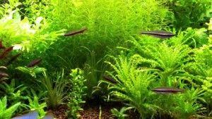 obsah Backnost nannostomus v akváriu