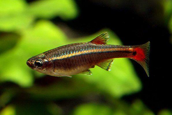Kardinálne ryby