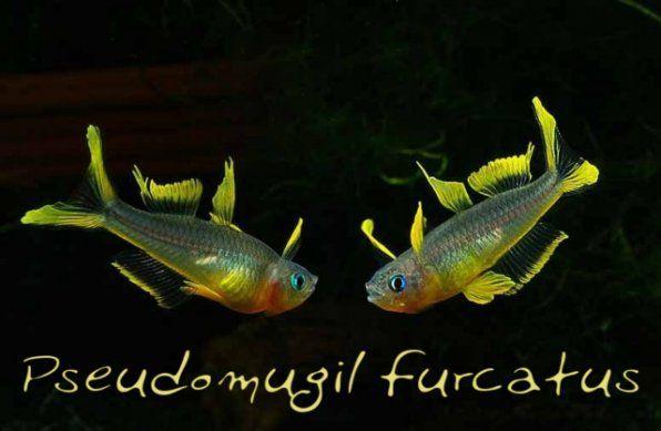 Popondetta Fourcata