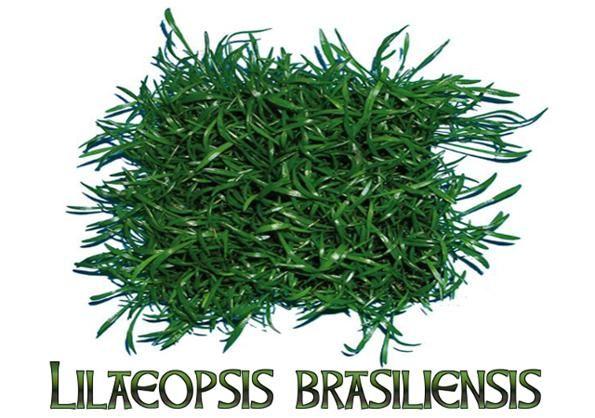 Lileopsis brazylijska