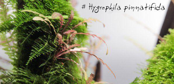 Zdjęcie Hygrophilus pinnatiphide