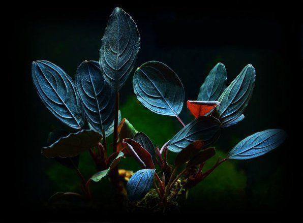 Bucephalanders