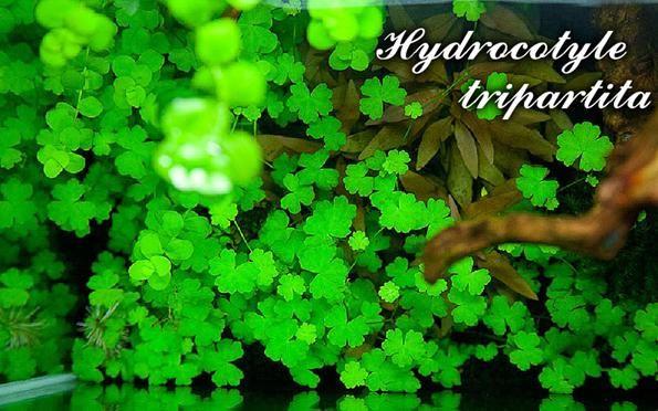 Trójdzielny hydrokotyl