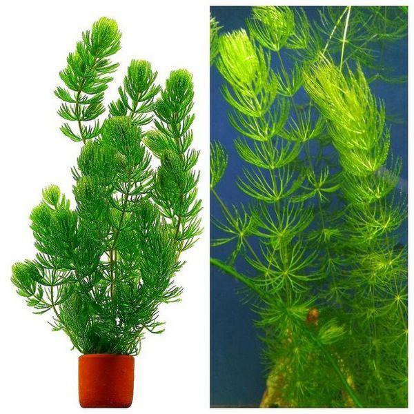 Niezwykła roślina akwariowa