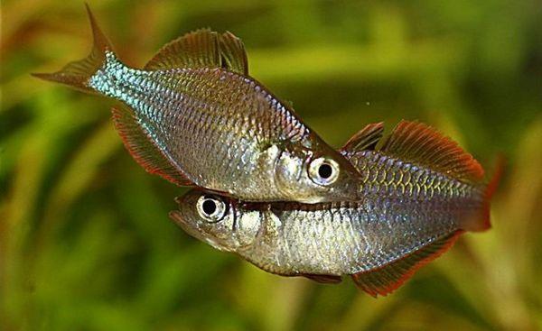 Двойка мъжки джуджета неонови дъги.