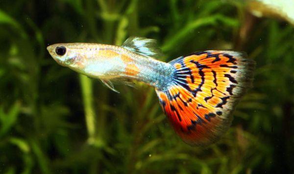 Непретенциозни аквариумни рибки guppy.