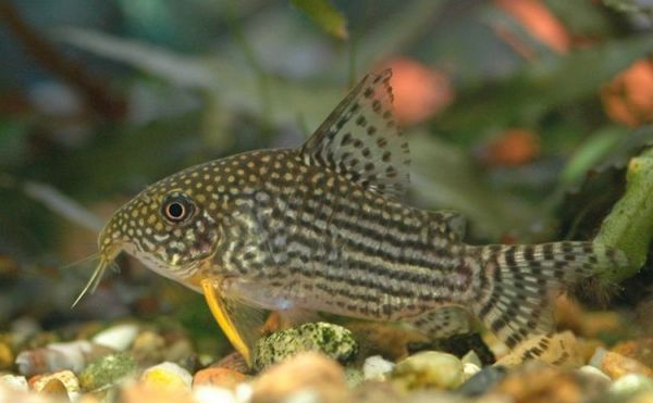 Непретенциозни коридори за сом за аквариумни риби.
