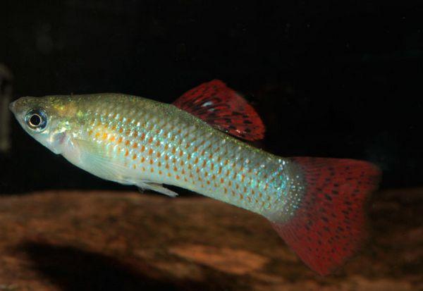 Непретенциозни аквариумни риби от молизия.