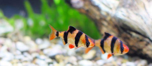 Непретенциозни аквариумни рибки барбуси.
